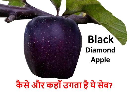Black Diamond Apple – इस जगह उगता है ये काला सेब